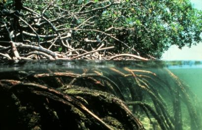 mangroves are important marine carbon-storage sinks and areas of rich biodiversity