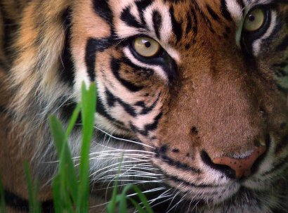 Tiger nearly extinct in the wild: pic by HeWhoWalksWithTigers